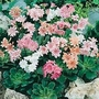 Lewisia Cotyledon Galaxy Mixed 1 packet (25 seeds)