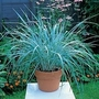 Leymus Arenarius Blue Grass 1 packet (20 seeds)