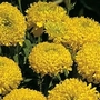 Marigold 'Lemon Mum' 1 packet (100 seeds)