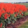 Salvia Splendens Lighthouse 1 packet (25 seeds)