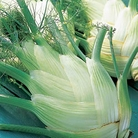 Fennel Florence Perfection Seeds