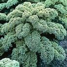 Kale Cavolo De Nero