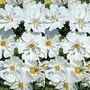 Cosmos Bipinnatus Psyche White 1 packet (75 seeds)