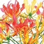 Glory Lily Mixed (Gloriosa Superba Mixed) 1 packet (6 seeds)