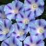Ipomoea Purpurea Light Blue Star 1 packet (35 seeds)