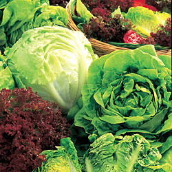 Lettuce All Sorts Mixed Seeds