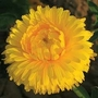 Calendula Officinalis 'Chrysantha' 1 packet (100 seeds)