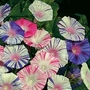Ipomoea Purpurea Carnevale Di Venezia 1 packet (35 seeds)