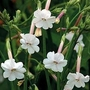 Nicotiana Suaveolens 1 packet (100 seeds)
