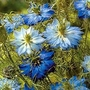 Nigella Damascena Moody Blues 1 packet (600 seeds)
