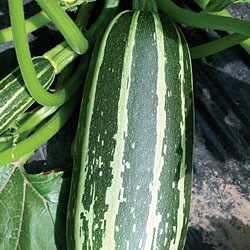 Marrow Bush Baby Seeds (Gro-sure)