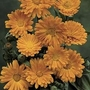 Calendula Officinalis 1 packet (60 seeds)