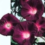 Ipomoea Purpurea Kniolas Black Night 1 packet (30 seeds)