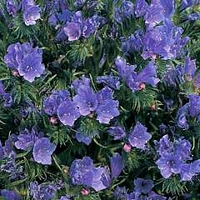 Echium Vulgare Blue Bedder 1 packet (200 seeds)