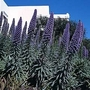 Echium Fastuosum 1 packet (25 seeds)