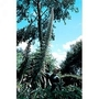 Echium Pininana Alba Snow Tower 1 packet (15 seeds)