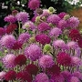 Knautia Macedonica Melton Pastels 1 packet (30 seeds)