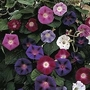 Ipomoea Purpurea Mixed 1 packet (35 seeds)