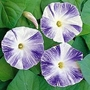 Ipomoea Tricolor Flying Saucers 1 packet (35 seeds)