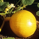 Melon Bardot Seeds (Gro-sure)