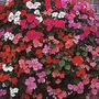 Impatiens Walleriana Bedding Supreme F1 1 packet (100 seeds)