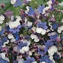 Nemesia Strumosa Klm 1 packet (400 seeds)