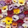 Nemesia Strumosa Compacta Tapestry 1 packet (350 seeds)