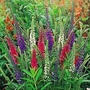 Veronica Mixed Colours 1 packet (50 seeds)