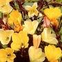 Oenothera odorata