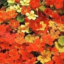 Nasturtium 'Climbing Mixed' 1 packet (40 seeds)