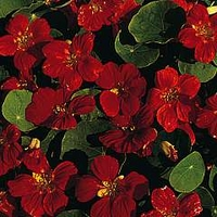 Nasturtium 'Empress Of India' 1 packet (40 seeds)