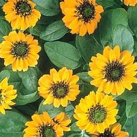Sanvitalia Procumbens Orange Sprite 1 packet (40 seeds)