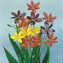 Belamcanda Chinensis Leopard Lily Mixed 1 packet (20 seeds)