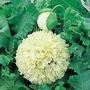 Papaver Somniferum Applegreen 1 packet (80 seeds)