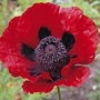 Papaver Bracteatum 1 packet (100 seeds)