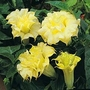 Datura Metel Double Golden Queen 1 packet (8 seeds)