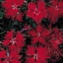 Dianthus Superbus Crimsonia 1 packet (200 seeds)