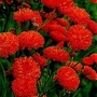 Emilia Coccinea Scarlet Magic 1 packet (350 seeds)
