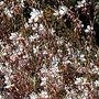 Gaura Lindheimeri 1 packet (30 seeds)