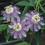 Passiflora Incarnata (May Apple) 1 packet (7 seeds)