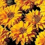 Heliopsis Scabra Golden Double Hybrids 1 packet (100 seeds)