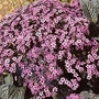 Heliotropium Dwarf Marine 1 packet (150 seeds)