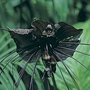 Tacca Chantrierei 1 packet (15 seeds)