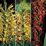 Hedychium Species Mixed 1 packet (10 seeds)