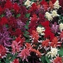 Salvia Splendens Kaleidoscope Mixed 1 packet (40 seeds)