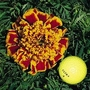 Marigold 'Colossus' 1 packet (200 seeds)
