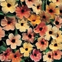 Thunbergia Alata Salmon Shades 1 packet (8 seeds)