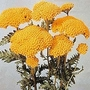 Achillea Filipendulina Cloth Of Gold 1 packet (500 seeds)