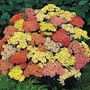 Achillea Millefolium Summer Pastels F2 1 packet (90 seeds)