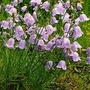 Campanula Rotundifolia 1 packet (1000 seeds)